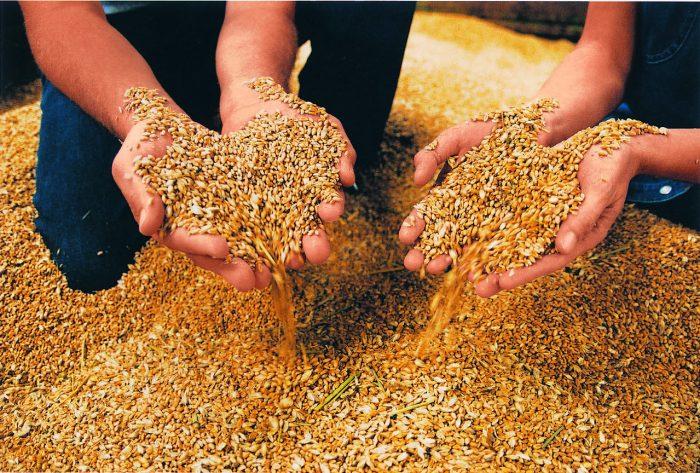 Getreide wird begutachtet